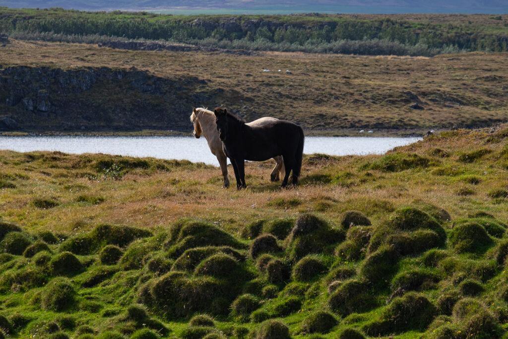 coppia di cavalli sulla riva del fiume
