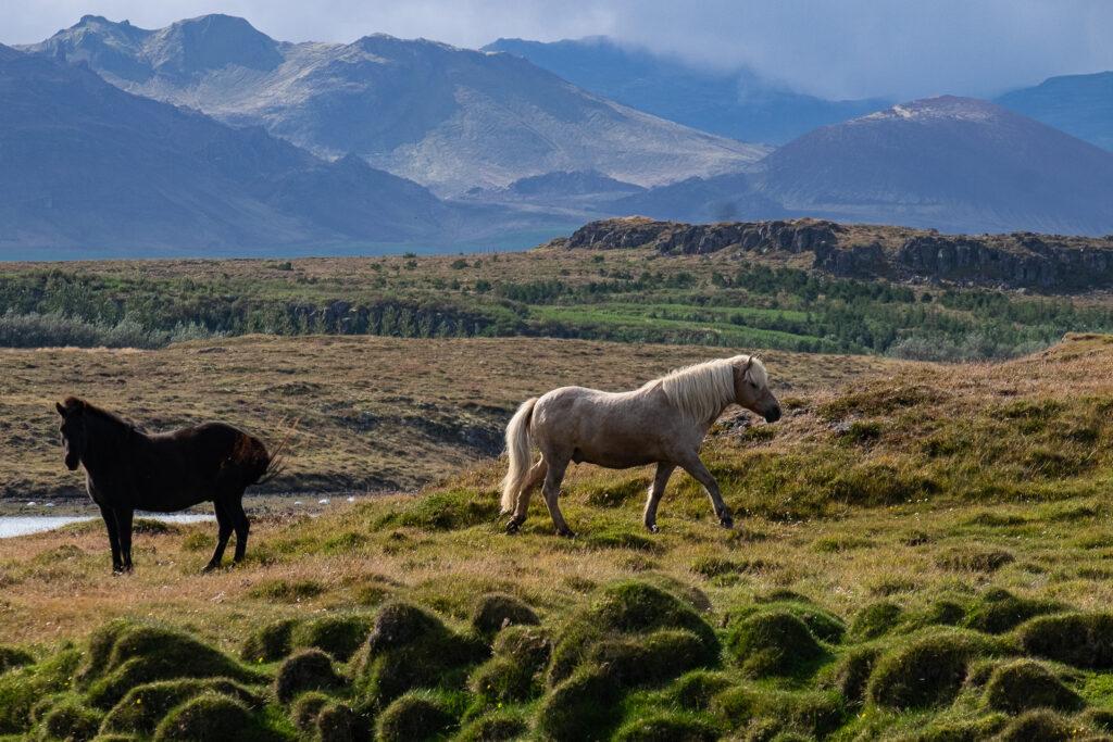 Due cavalli in terra d'Islanda