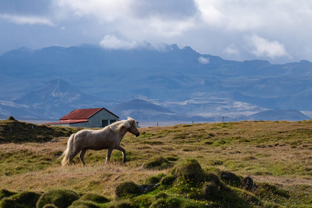 cavallo bianco con fattoria. Islanda
