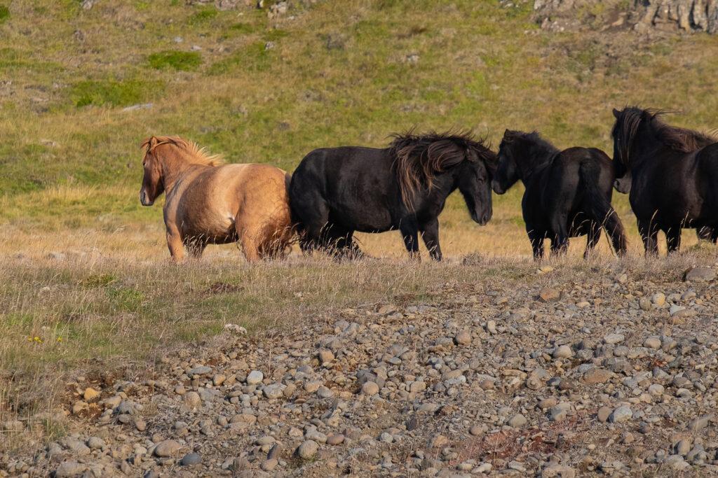 Cavalli islandesi in libertà