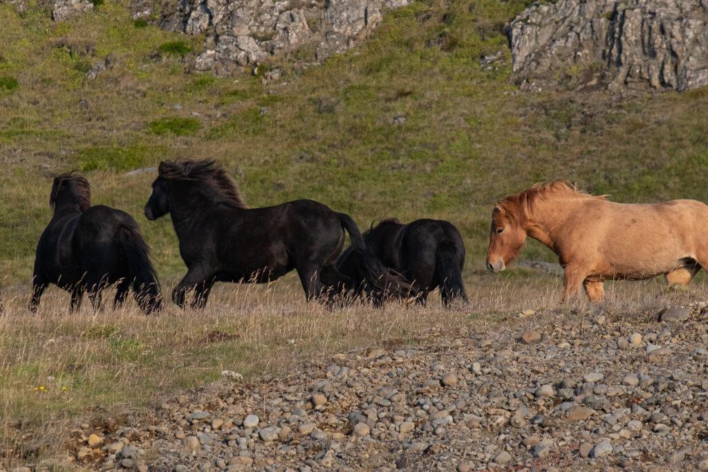Cavallo neri al galoppo