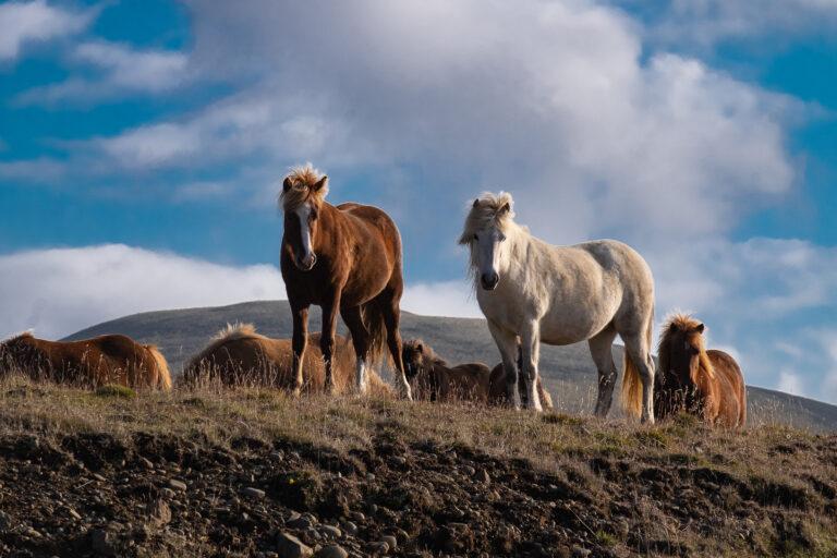 Islanda. I cavalli del fuoco e del ghiaccio
