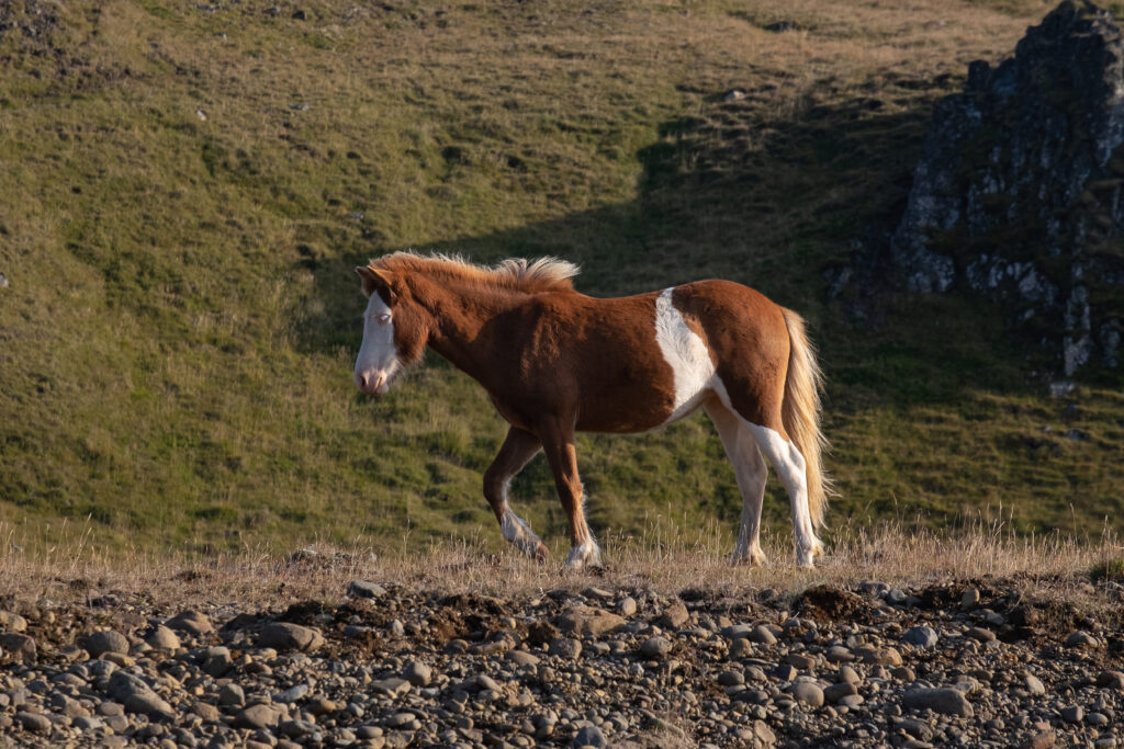 Cavallino pezzato. Islanda