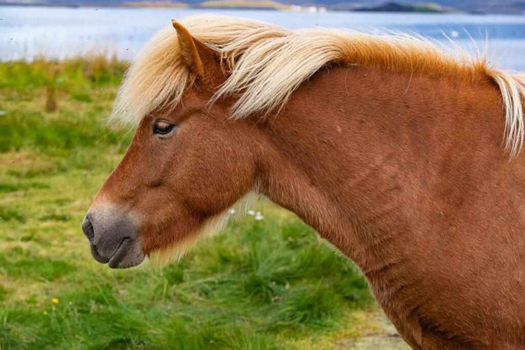 Il cavallo islandese è di piccole dimensioni. A volte simili ai pony