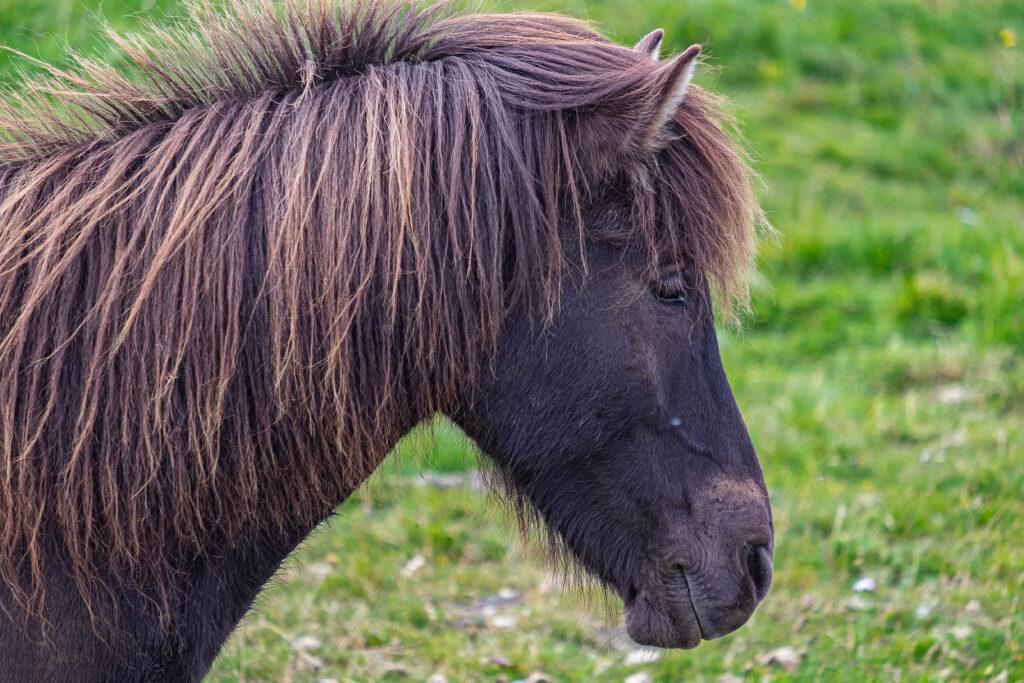 Il cavallo islandese è l'unica razza indigena dell'Islanda